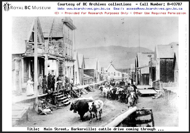 Cattle being driven through Barkerville